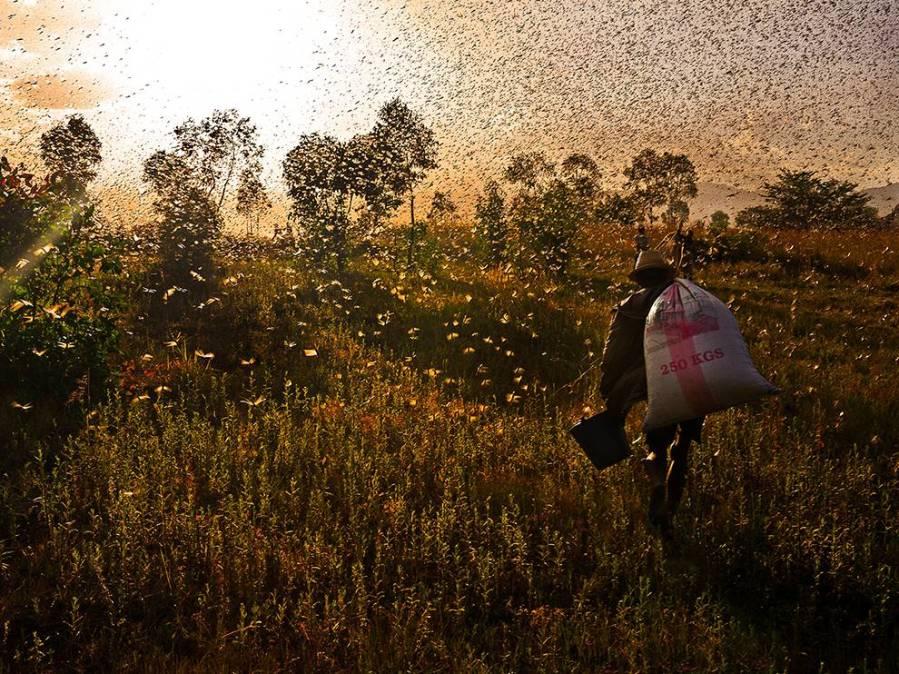 locust-gatherer-madagascar